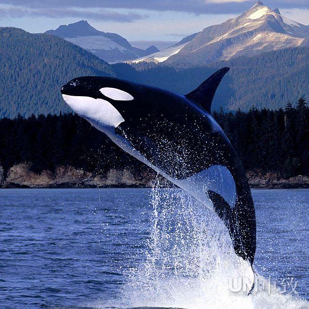 关于虎鲸的图片_虎鲸图片_海洋生物_高清图片下载