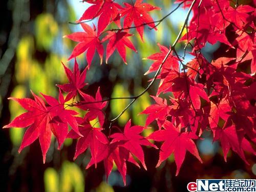 霜洒枫叶红香山红叶盛会适合的卡片相机