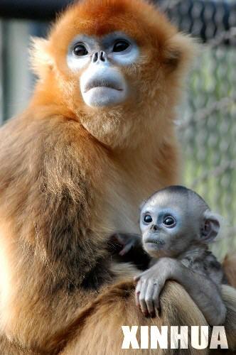 科技时代_济南动物园5岁金丝猴芯芯喜添宝宝(组图)