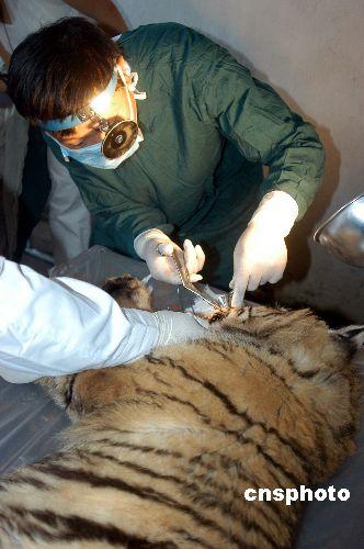 科技时代_牡丹江一只东北虎接受鼻腔手术(图)