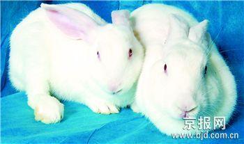 科技时代_首只体细胞克隆兔在京诞生
