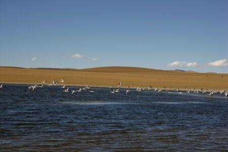 科技时代_图文:考察队发现未迁徙的斑头雁