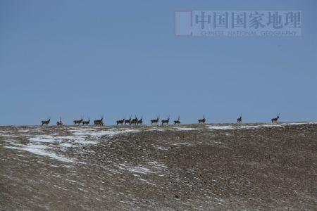 科技时代_图文:奔跑的藏羚羊群