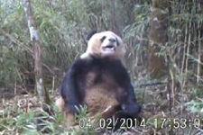 大熊猫竹林做出疑似自慰行为:或处发情期