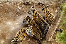 青藏高原首例自然繁殖东北虎四胞胎嬉戏亮相
