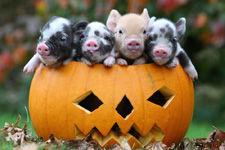 万圣节南瓜诱惑:小猪团团挤浣熊大寻宝(图)