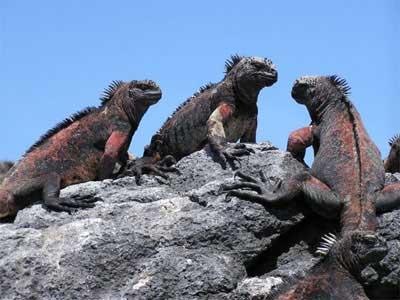 史前动物海鬣蜥因无天敌丧失逃生能力(图)