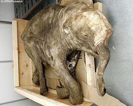 科学家利用毛发对猛犸象DNA测序(图)