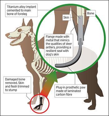 比利时牧羊犬装上金属假肢(图)
