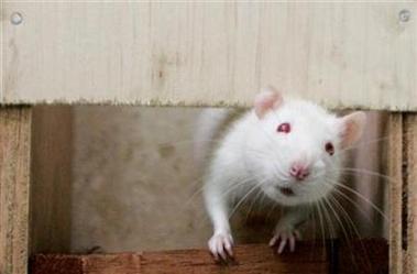 科学家成功抹去老鼠长期记忆将有助痴呆治疗