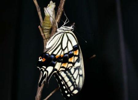 中国国家地理大讲堂预告:蝴蝶(图)
