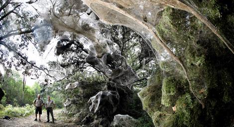 美国昆虫学家揭秘直径182米超级蜘蛛网