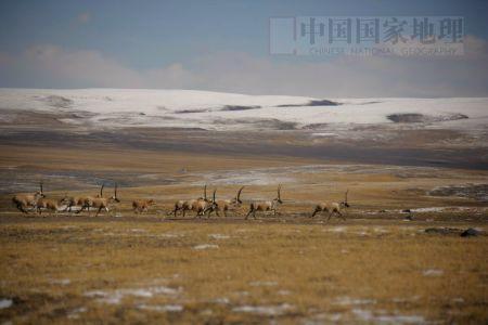 图文:奔跑的藏羚羊群