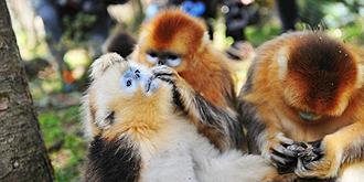 母爱爆棚的金丝猴