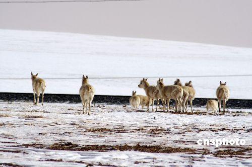 藏羚羊正逐步熟悉利用青藏铁路野生动物通道迁徙