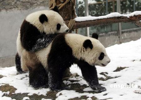 """台北动物园因赠台大熊猫被禁状告""""农委会"""""""