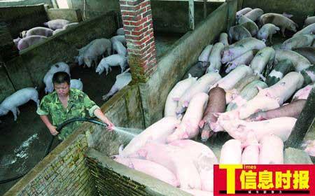 猪贩称猪源紧张不希望猪肉涨价