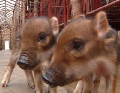 野猪是几级保护动物