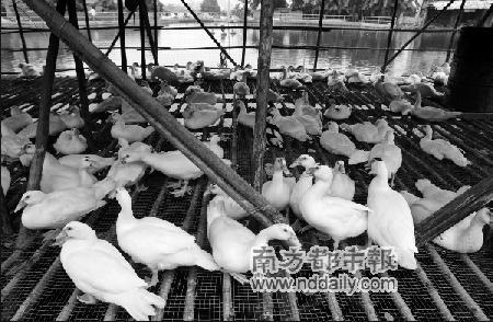 广州积极防控疑似禽流感疫情政府补助鸭农