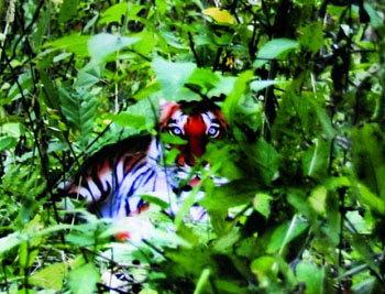 全球权威杂志《科学》将刊登争议华南虎照片