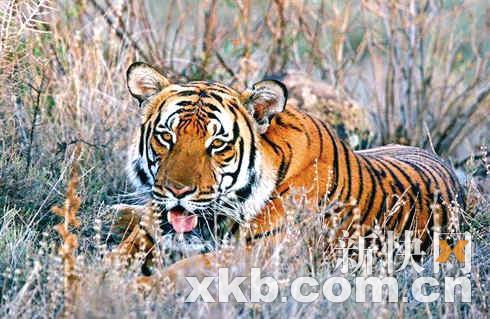 华南虎保护组织:老虎睡觉时或会半小时不动