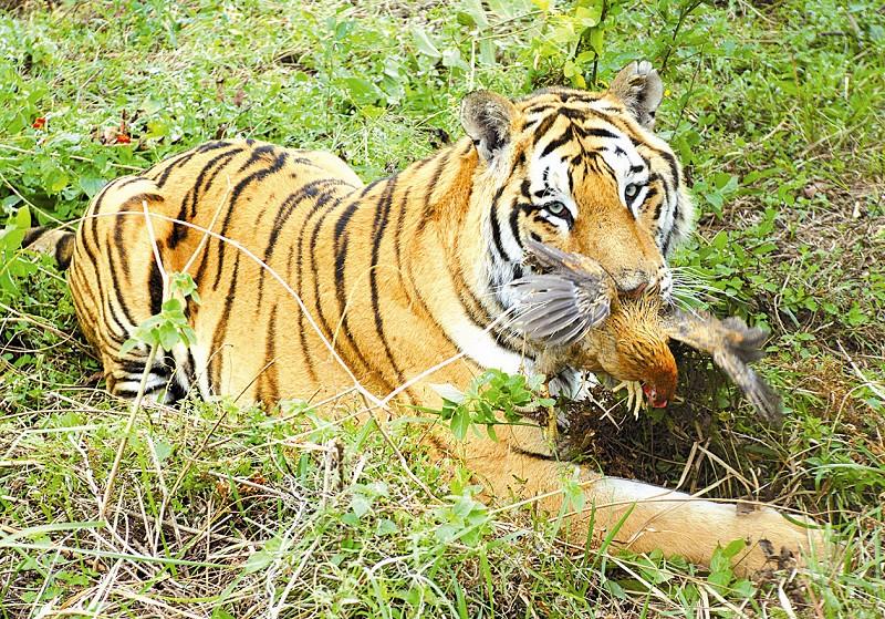 以及中国动物园协会理事,著名的虎类专家黄恭情老先生,都对即将诞生的