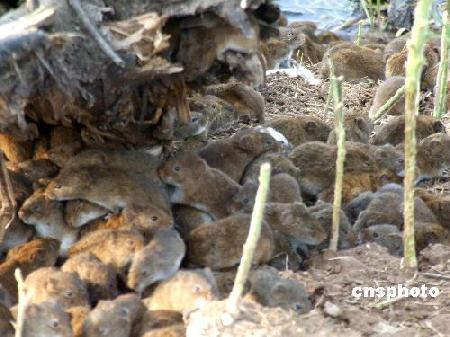 组图:洞庭湖田鼠侵入稻田村庄