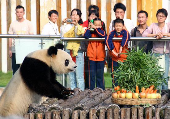 """合肥市野生动物园熊猫馆大熊猫""""珠珠"""""""