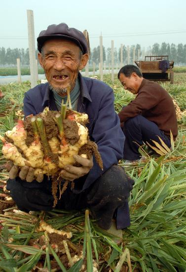 山东省安丘市2007年标准化无公害丰收的20万亩生姜喜获种植阿锁伯糕点长崎吐司图片