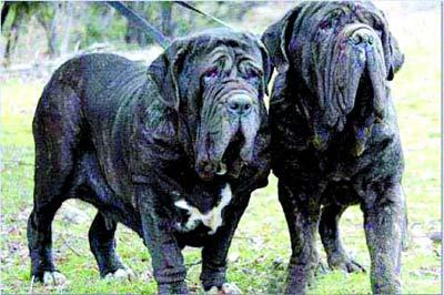 最猛的狗_一定要远离这些狗狗 恶犬名单