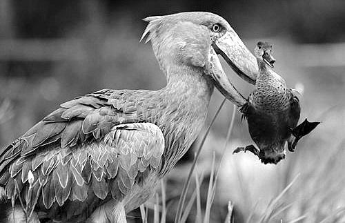 壁纸 动物 鸟 鸟类 摄影 桌面 500_323
