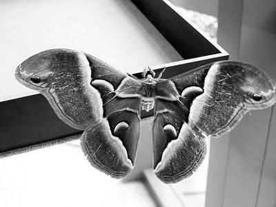 灰色花纹蛾子