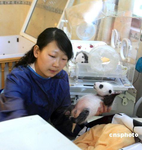 中国人工圈养大熊猫种群数量目前已达239只
