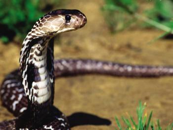 蛇歼人事件_险蛇吃人还是人吃蛇