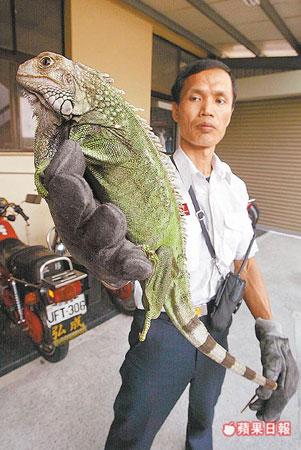 一米长绿鬣蜥现身市民家中(图)