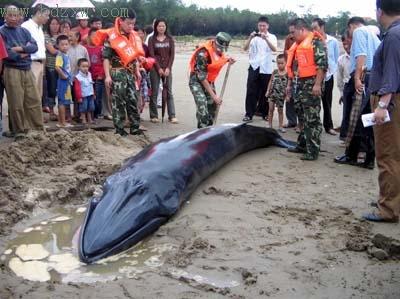长6米重2吨蓝须鲸因台风搁浅沙滩(图)