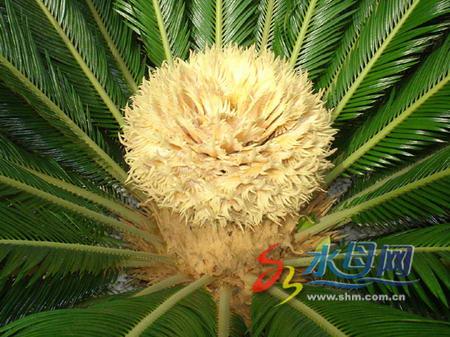 图文:雌铁树开花形似球形