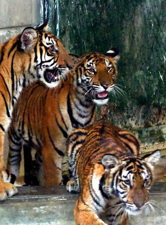 组图:越南河内动物园成功繁育东南亚虎