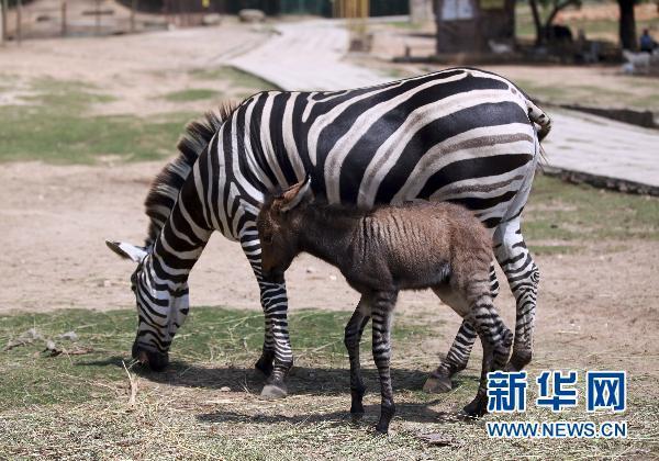 """当日,福建省厦门市海沧野生动物园诞生了一只罕见的动物""""混血儿""""宝宝"""