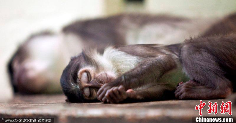 2009年5月26日,英国伦敦,动物园里的白眉猴Luca在呼呼大睡.  摄