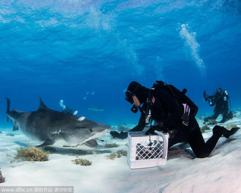 虎鲨沉浸美食变乖萌吃货:与潜水员和谐相处
