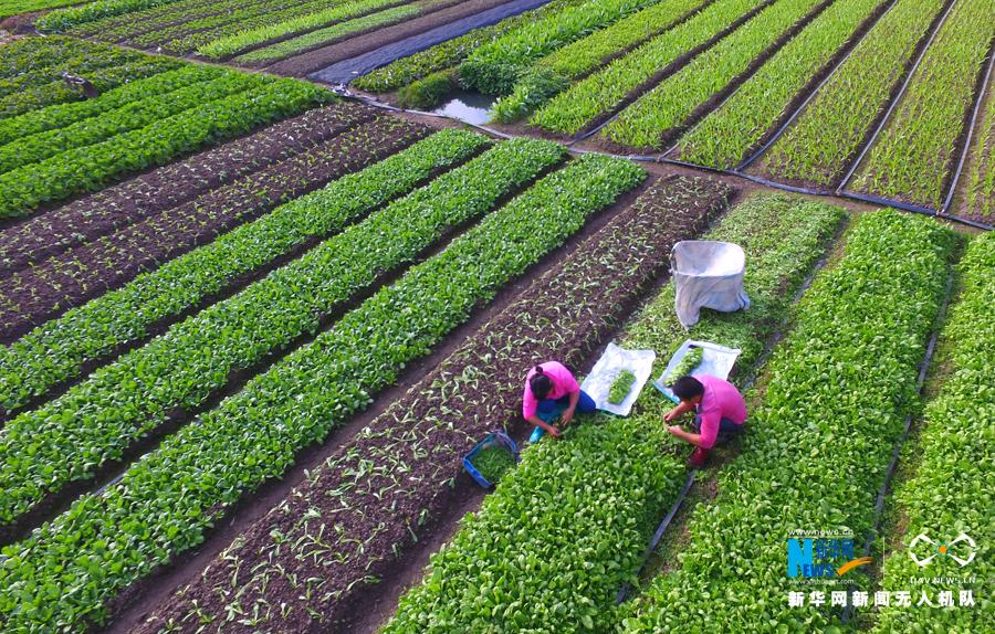 """航拍深圳大片保护农田 城市中的一抹""""绿色"""""""