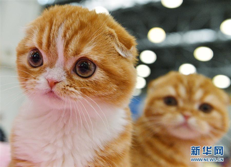 莫斯科国际宠物猫展 萌猫齐亮相