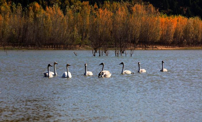 的白天鹅出现在河南省黄河三门峡水库,数量超过了500只. 河南摄图片