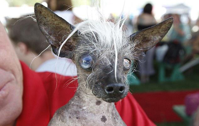 世界最丑小狗大赛图片