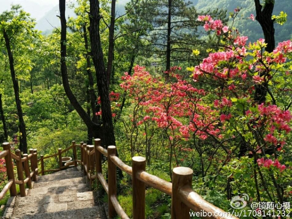 前冲春风十里吉他谱-每年春天,西泰山十万顷野生杜鹃竞相开放,漫山红遍,9公里长的杜