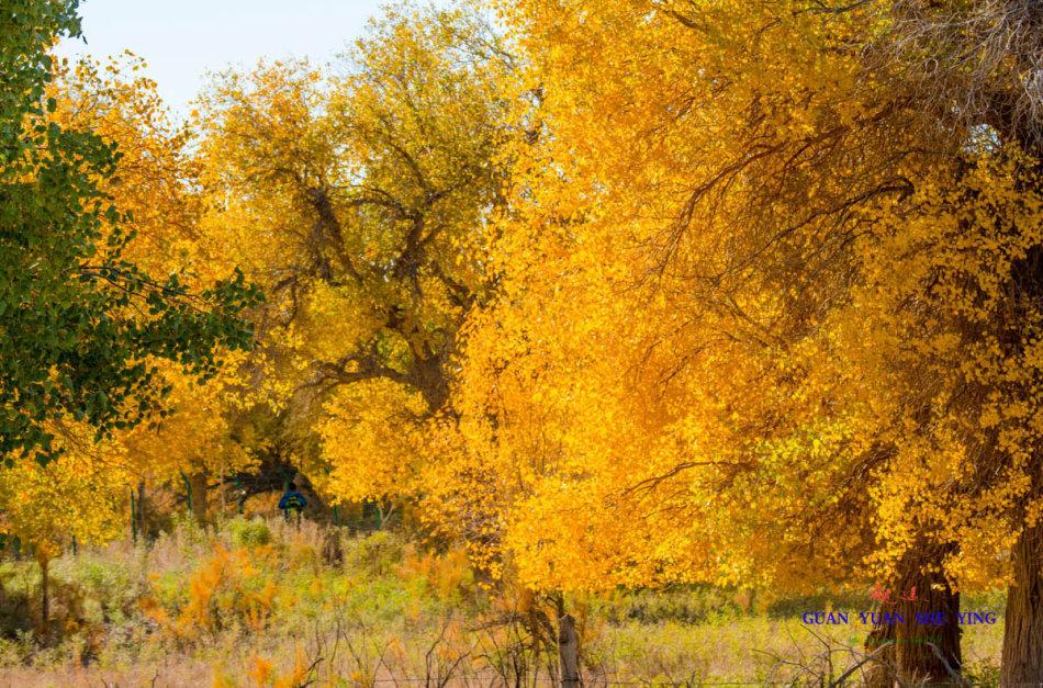 额济纳的秋是最美丽的秋,额济纳的胡杨林是最美的胡杨林.@/观远