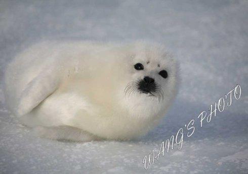 实拍超萌海豹宝宝图片