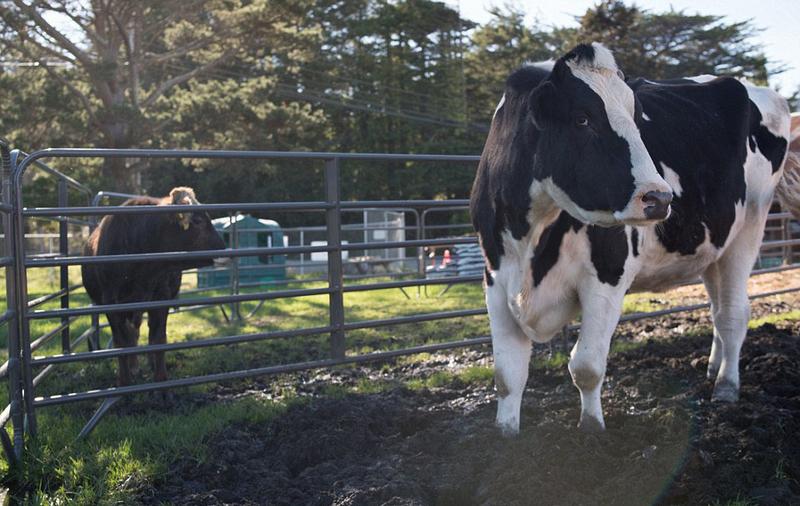 大奶牛bt_世界最大奶牛高1.9米 或破世界纪录