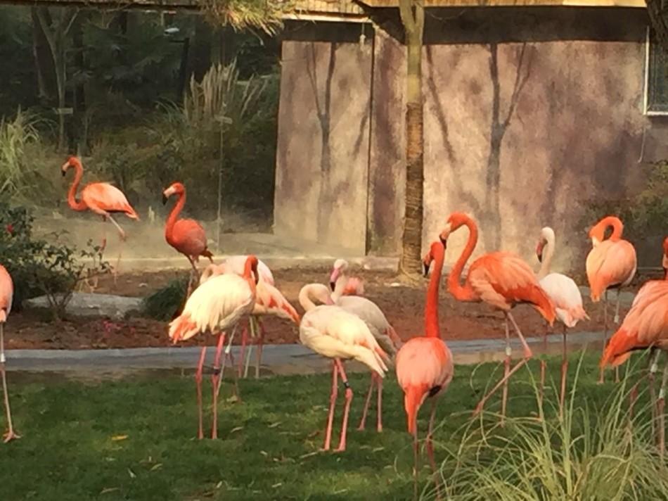 上海动物园火烈鸟新展区新年新亮相